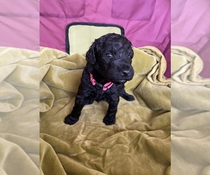 Poodle (Standard) Puppy for Sale in LEXINGTON, South Carolina USA
