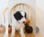 Small #3 Bernedoodle-Goldendoodle Mix