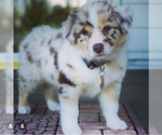 Small Photo #3 Australian Shepherd Puppy For Sale in SPOKANE, WA, USA