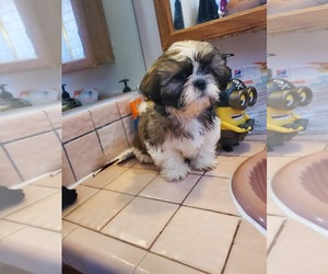 Shih Tzu Puppy for sale in WEST COVINA, CA, USA