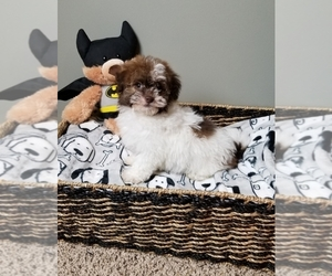 Havanese Puppy for sale in GREENWOOD, IN, USA