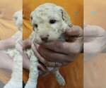 Puppy 1 Goldendoodle-Poodle (Miniature) Mix
