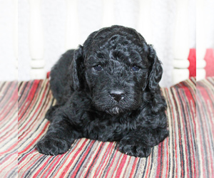 Poodle (Miniature) Puppy for sale in CHRISTIANA, PA, USA