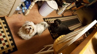 Shih Tzu Dog For Adoption in MOORESVILLE, IN, USA