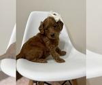 Puppy 2 Australian Labradoodle