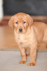 Labrador Retriever Puppy For Sale in UPPERCO, MD, USA