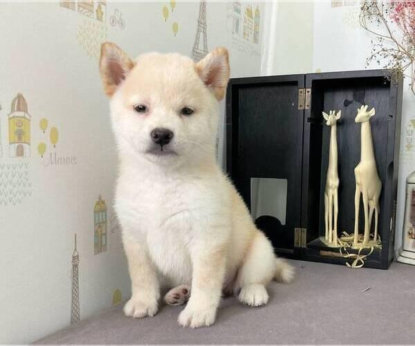Medium Photo #3 Shiba Inu Puppy For Sale in SAN JOSE, CA, USA