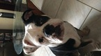Bulldog Puppy For Sale in PALM BAY, FL,