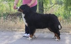 Bernese Mountain Dog Puppy For Sale in BOISE, ID, USA