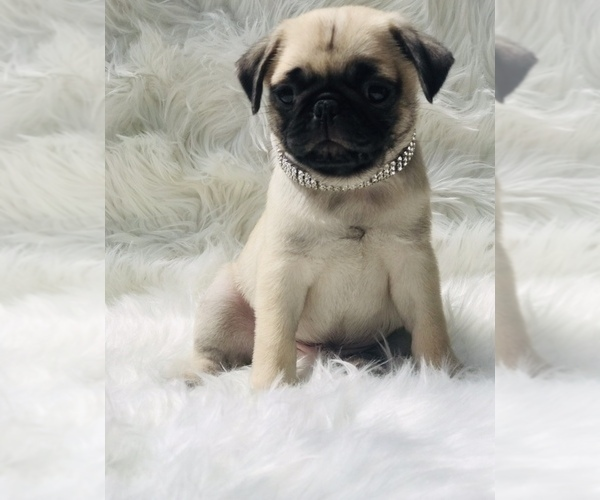 Medium Photo #3 Pug Puppy For Sale in CANTON, CT, USA