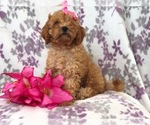 Small #5 Cavapoo-Poodle (Miniature) Mix