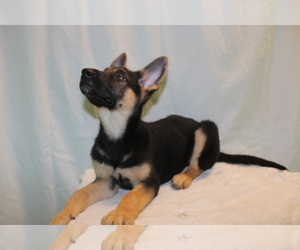 German Shepherd Dog Puppy for Sale in PATERSON, New Jersey USA