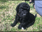 Double Doodle Puppy For Sale in GREER, SC, USA