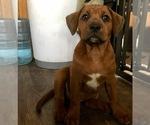 Small Photo #5 America Bandogge Mastiff-Mastiff Mix Puppy For Sale in FORT GARLAND, CO, USA
