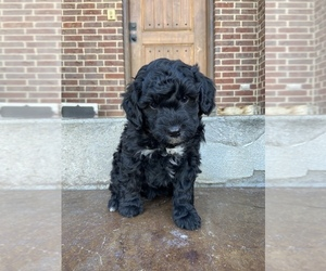 Bernedoodle Puppy for Sale in AM FORK, Utah USA