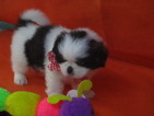 Shih Tzu Puppy For Sale in MURPHY, NC