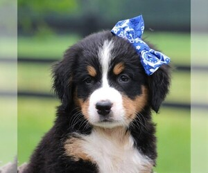Bernese Mountain Dog Puppy for sale in FREDERICKSBRG, PA, USA