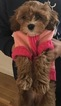 Cavapoo Puppy For Sale in COLORADO SPRINGS, CO, USA