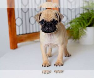 Pug Puppy for sale in NAPLES, FL, USA
