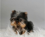 Puppy 10 Yorkshire Terrier