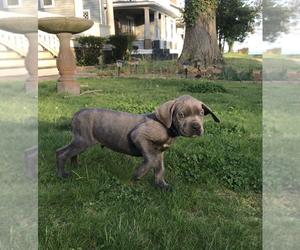 Cane Corso Puppy for sale in HAMPTON, VA, USA