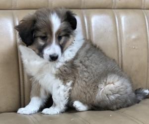 Shetland Sheepdog Dog for Adoption in KALONA, Iowa USA