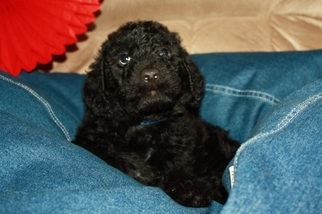 View Ad: Labradoodle Puppy for Sale near Pennsylvania
