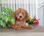 Small #2 Cavalier King Charles Spaniel-Poodle (Toy) Mix