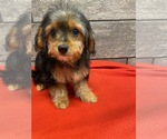 Small #5 Cavalier King Charles Spaniel-Poodle (Toy) Mix