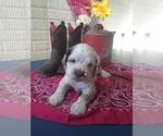 Puppy 0 Cocker Spaniel-Poodle (Miniature) Mix