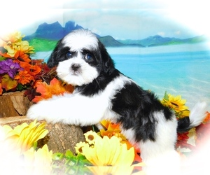 ShihPoo Puppy for sale in HAMMOND, IN, USA
