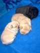 French Bulldog Puppy For Sale in KNOTTS ISLAND, NC, USA