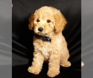 Poodle (Miniature) Puppy for sale in MANCHESTER, NH, USA