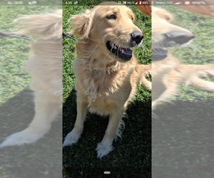 Golden Retriever Dog for Adoption in ATHOL, Idaho USA