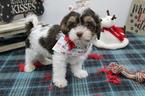 Cavapoo Puppy For Sale in FARMINGTON, MO, USA