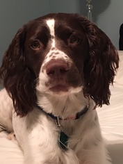 English Springer Spaniel Puppy For Sale in DE WITT, IA