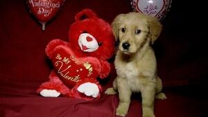 Golden Retriever Puppy For Sale in AVA, MO, USA