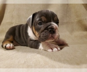 English Bulldog Puppy for Sale in WALDORF, Maryland USA