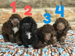 View Ad Poodle Toy Litter Of Puppies For Sale Near