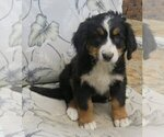 female BMD with AKC papers