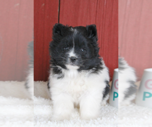 Pomsky Puppy for sale in AVON LAKE, OH, USA