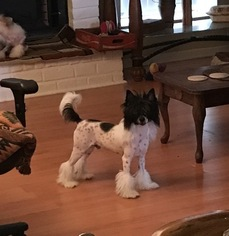 Chinese Crested Puppy For Sale in HOUSTON, TX, USA
