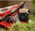 Pug Puppy For Sale in LEESBURG, FL, USA