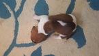 Basset Hound Puppy For Sale in HAUGHTON, LA, USA