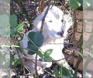 Great Pyrenees Puppy for sale in GASTONIA, NC, USA