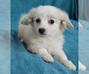 Havanese Puppy for sale in STATEN ISLAND, NY, USA