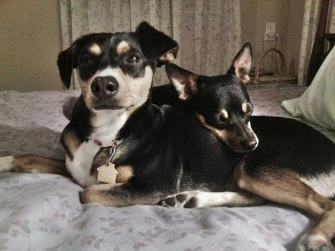 Doxie-Pin dog