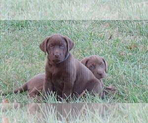 Medium Labrador Retriever