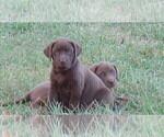 Puppy 0 Labrador Retriever