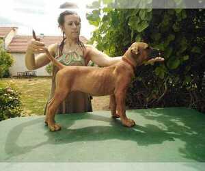 Presa Canario Dog for Adoption in Pancevo, Vojvodina Serbia
